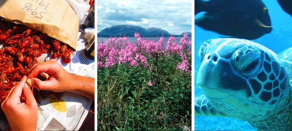 Photo collage showing person eating crawfish in New Orleans, Baker Island in Maine and sea turtles in Hawaii