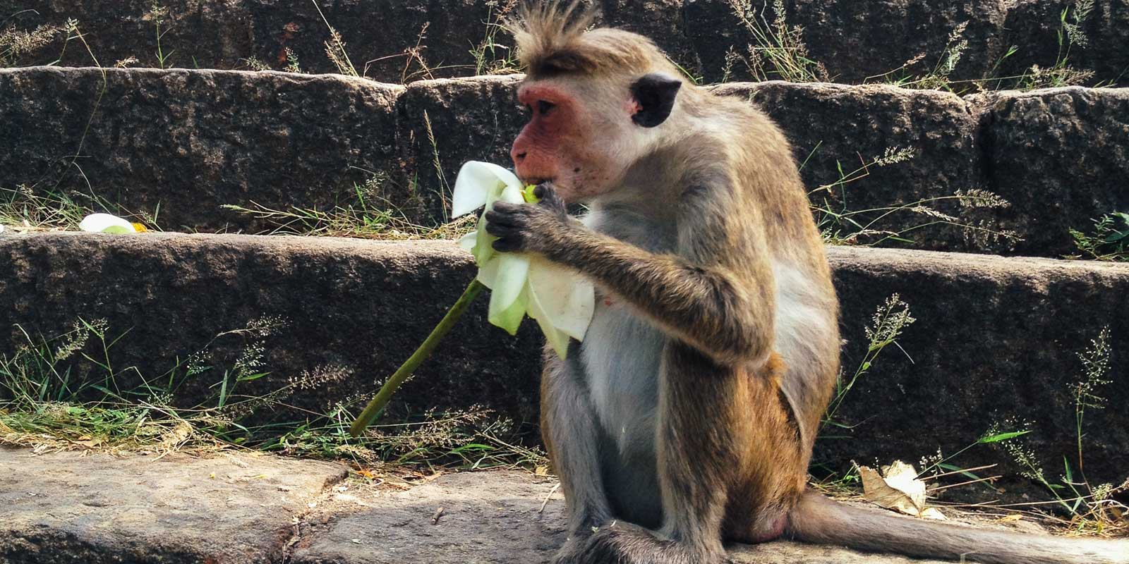 Zoomed in photo of a toque macaque monkey eating a flower while sitting on stone steps at Dambulla cave temple.