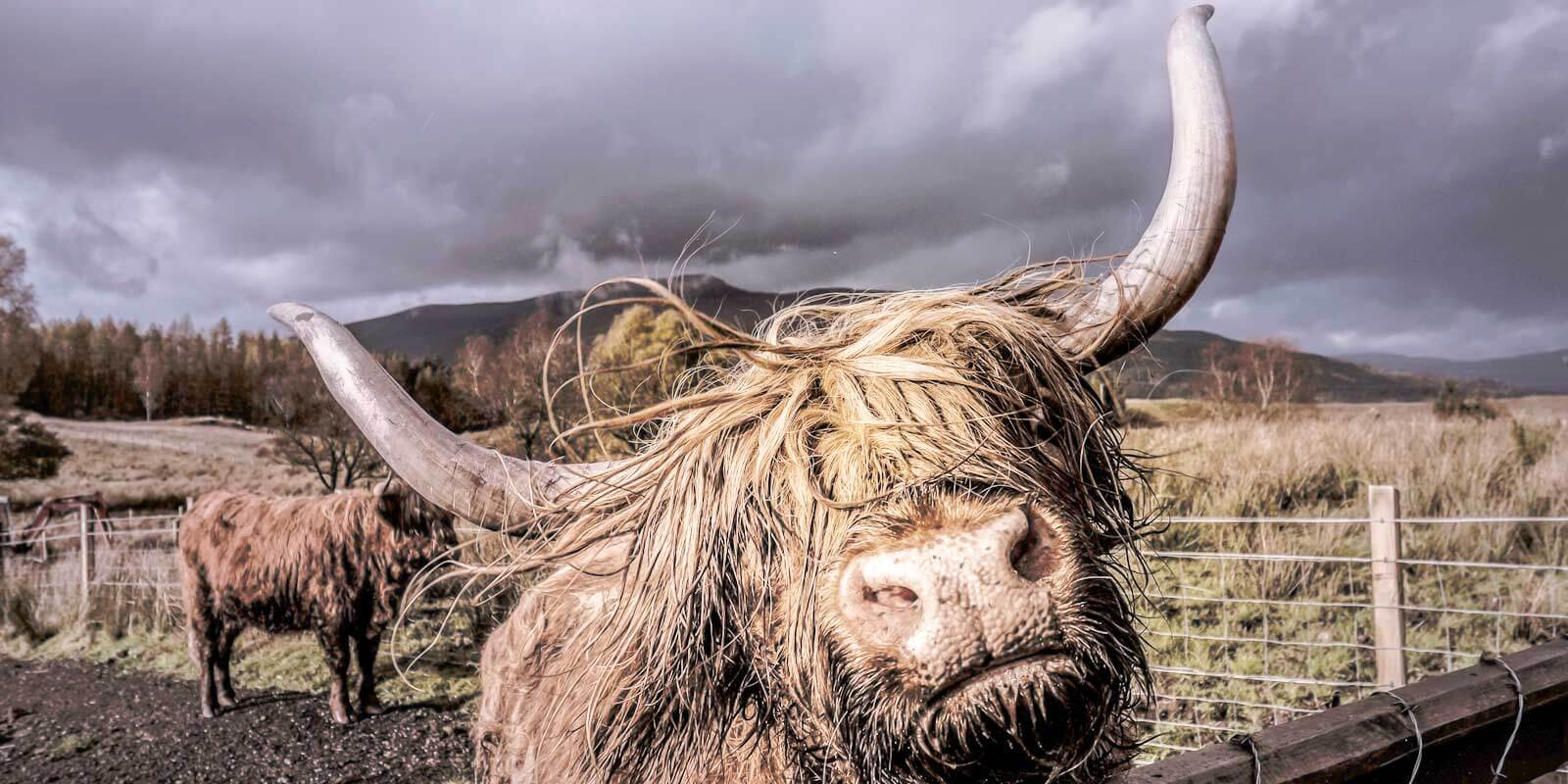 Closeup of a Scottish Highland cattle with long hair and big horns.