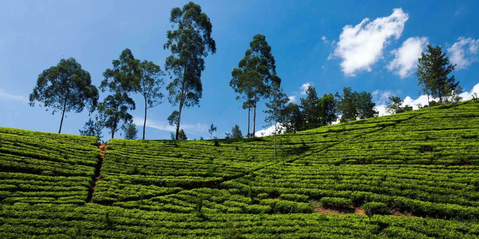 Landscape view of a tea field.