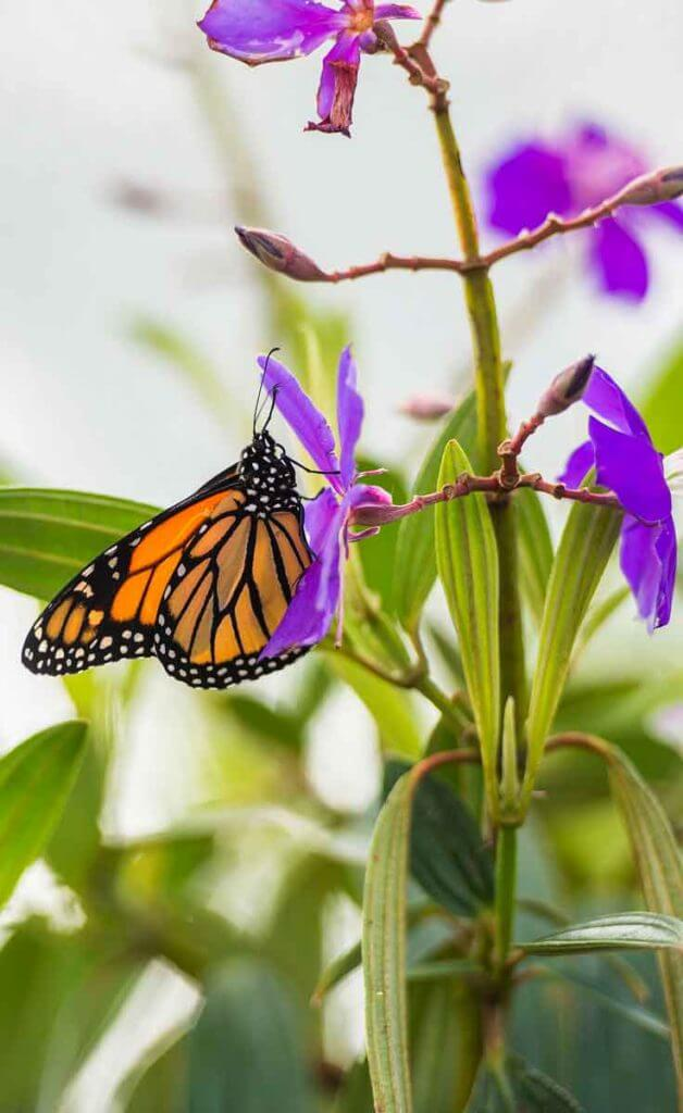 Close up photograph of an orange and black butterfly on a purple flower.