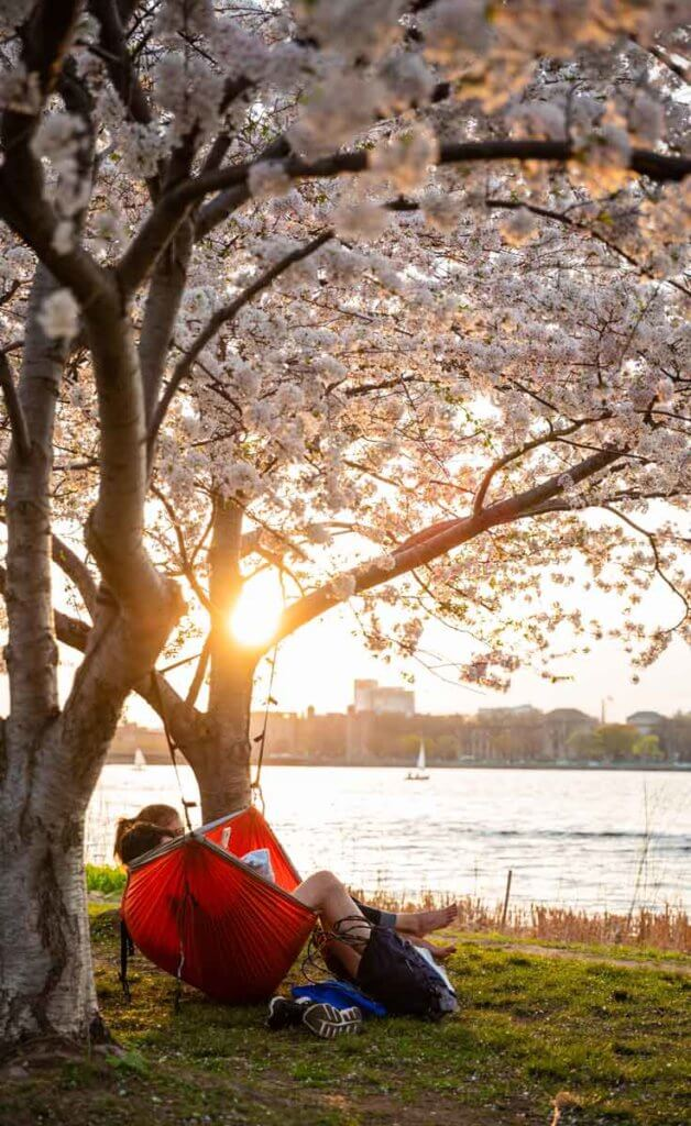 Portrait view of the Charles River Esplanade at sunset with a couple in a hammock between 2 cherry blossom trees.