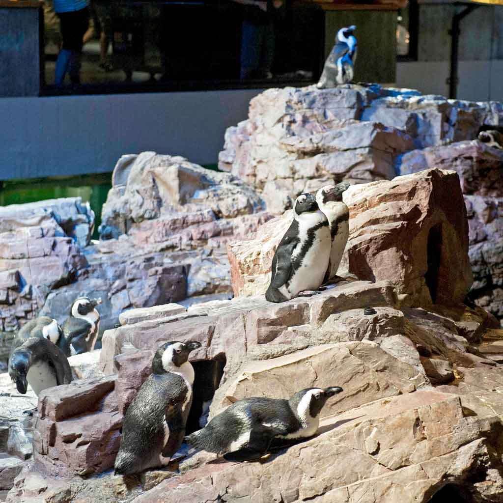 Closeup of African penguins in an enclosure at the New England Aquarium.