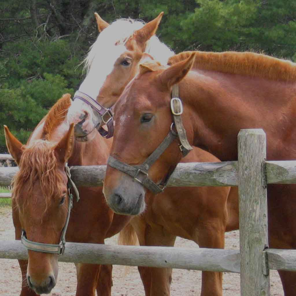 A group of 3 chestnut colored horses behind a wooden fence.