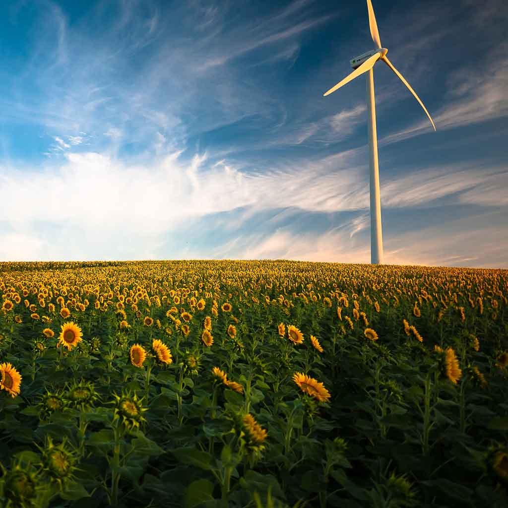 An energy wind mill standing in a field of sunflowers.