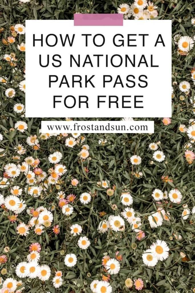 "Closeup of a field of daisies in the wild. Overlying text reads ""How to Get a US National Park Pass for Free."""