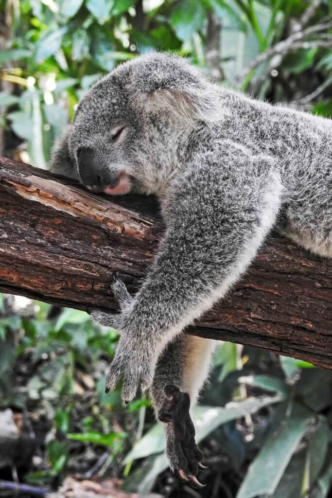 Closeup of a koala bear sleeping on a tree branch.