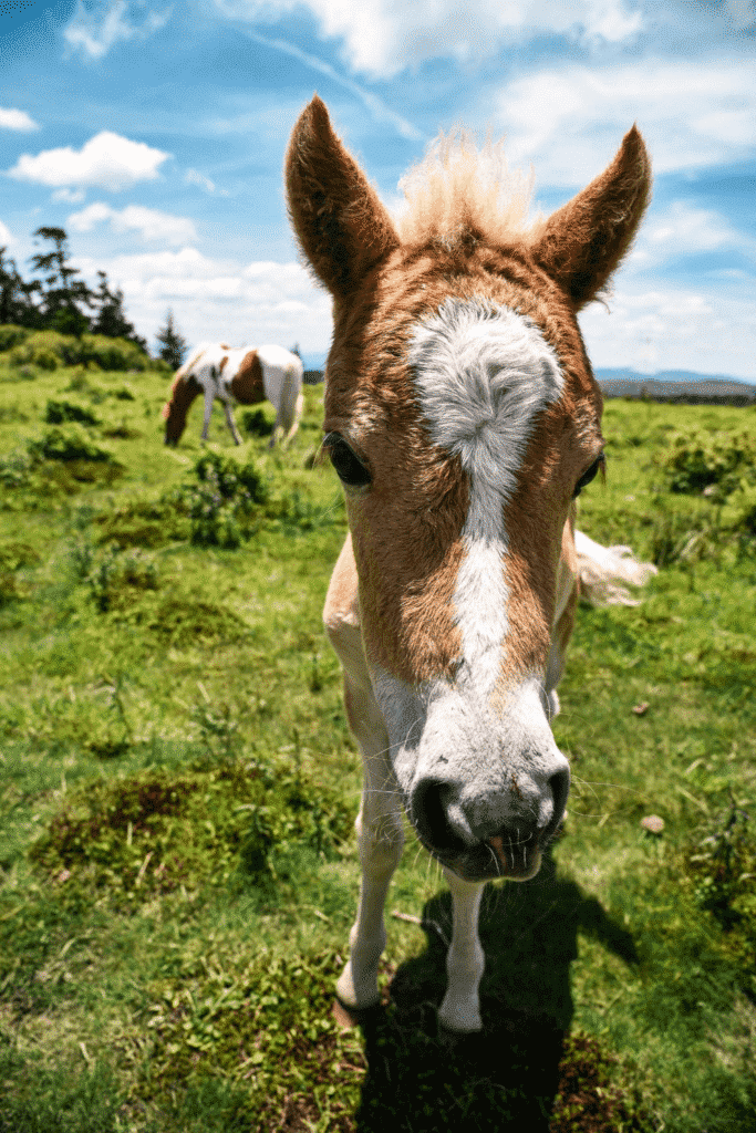 Closeup photo of a wild pony in a green field. Another pony is pictured in the distance, eating grass.