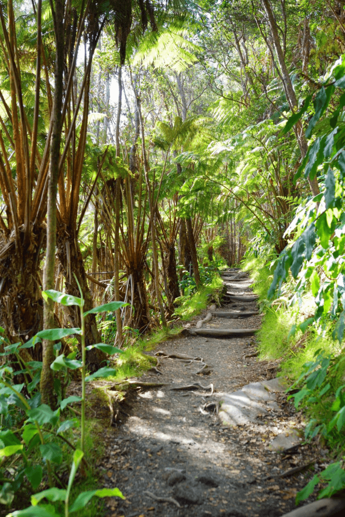 View of a tree-lined portion of the Kilauea Iki Trail at Hawaii Volcanoes National Park.