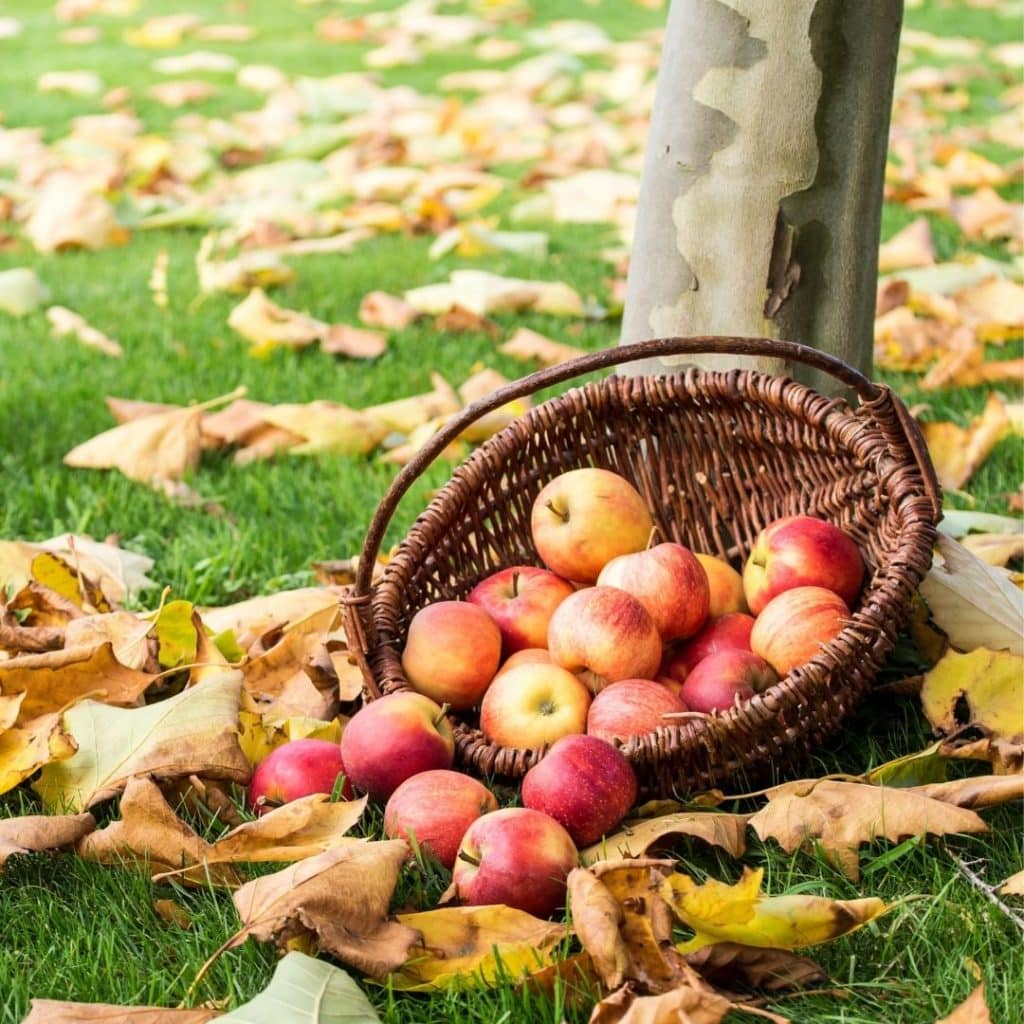 Photo of a woven basket with apples spilling out of it and fallen leaves covering the ground.