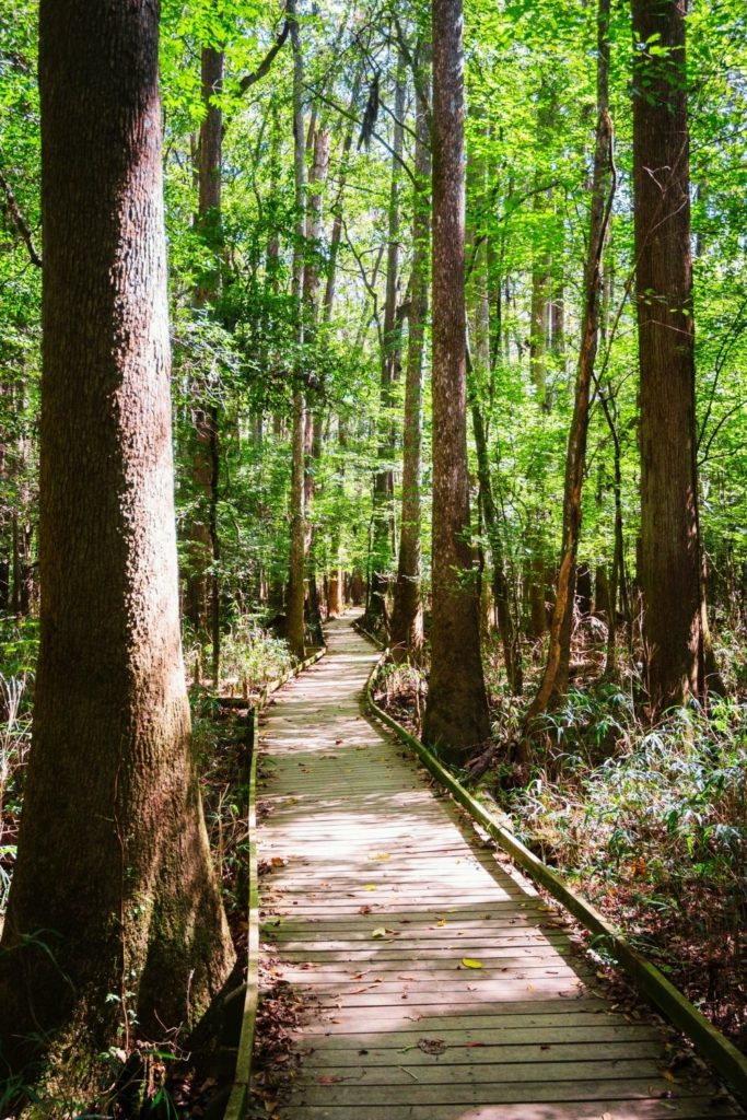 Photo of a boardwalk-style hiking path through Congaree National Park in South Carolina.