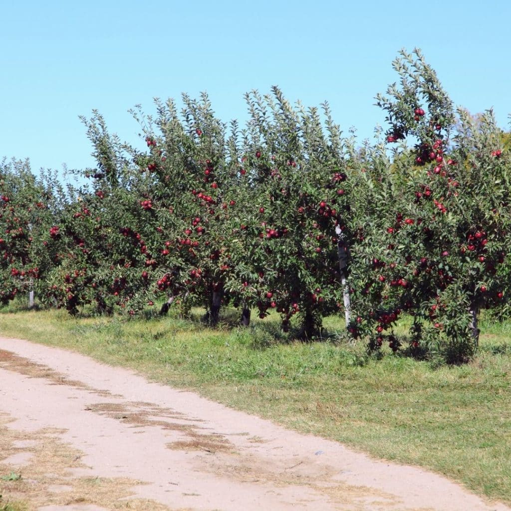 Photo of apple trees at an orchard in Vermont, ready to be picked.