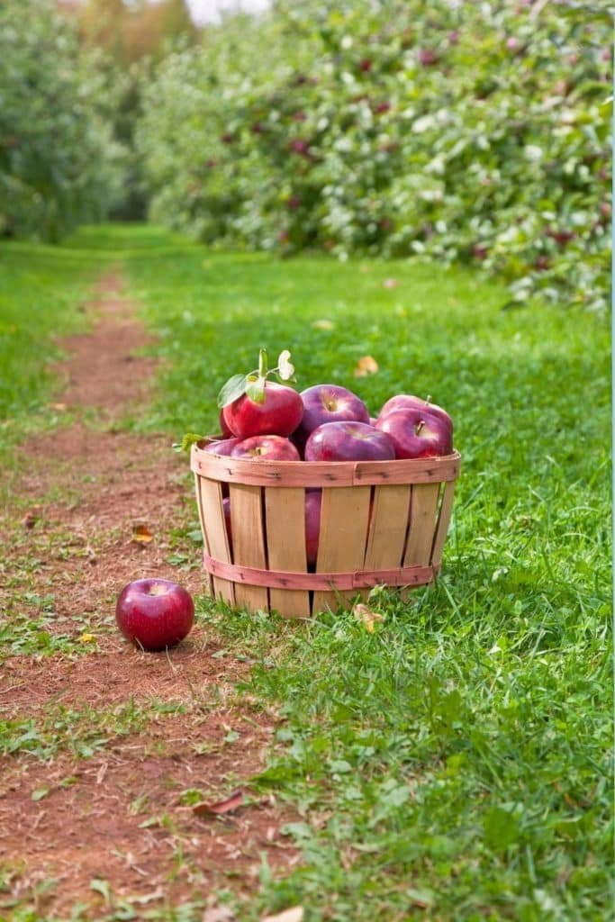 Photo of a wooden barrel filled with red apples in between rows of apple trees.