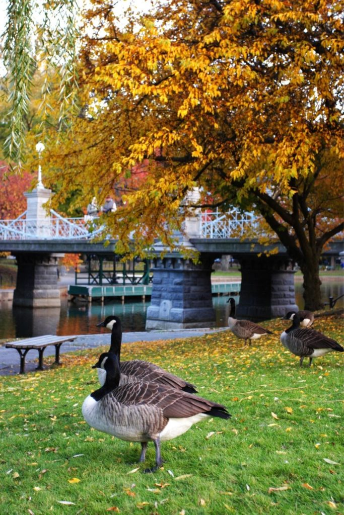 Photo of Canadian geese hanging out in Boston Public Garden in the Fall.