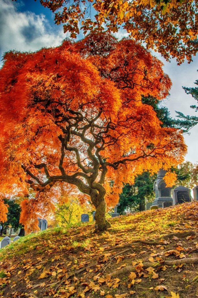 Photo of a tree with bright orange leaves in a cemetery.