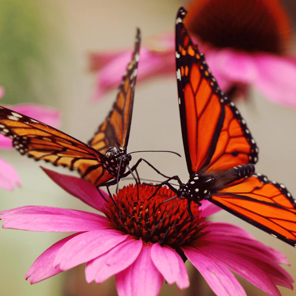 Closeup of 2 Monarch butterflies on a pink flower.